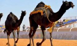 الحكومة السعودية تستغلّ مهرجانات الإبل لتفريق القبائل