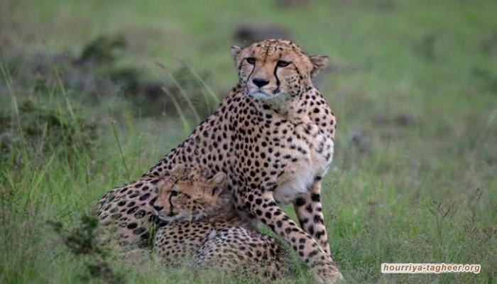 أمراء آل سعود وراء ازدهار تهريب الفهود من أفريقيا