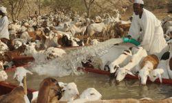 السعودية تسحب رخص استيراد الماشية من السودان